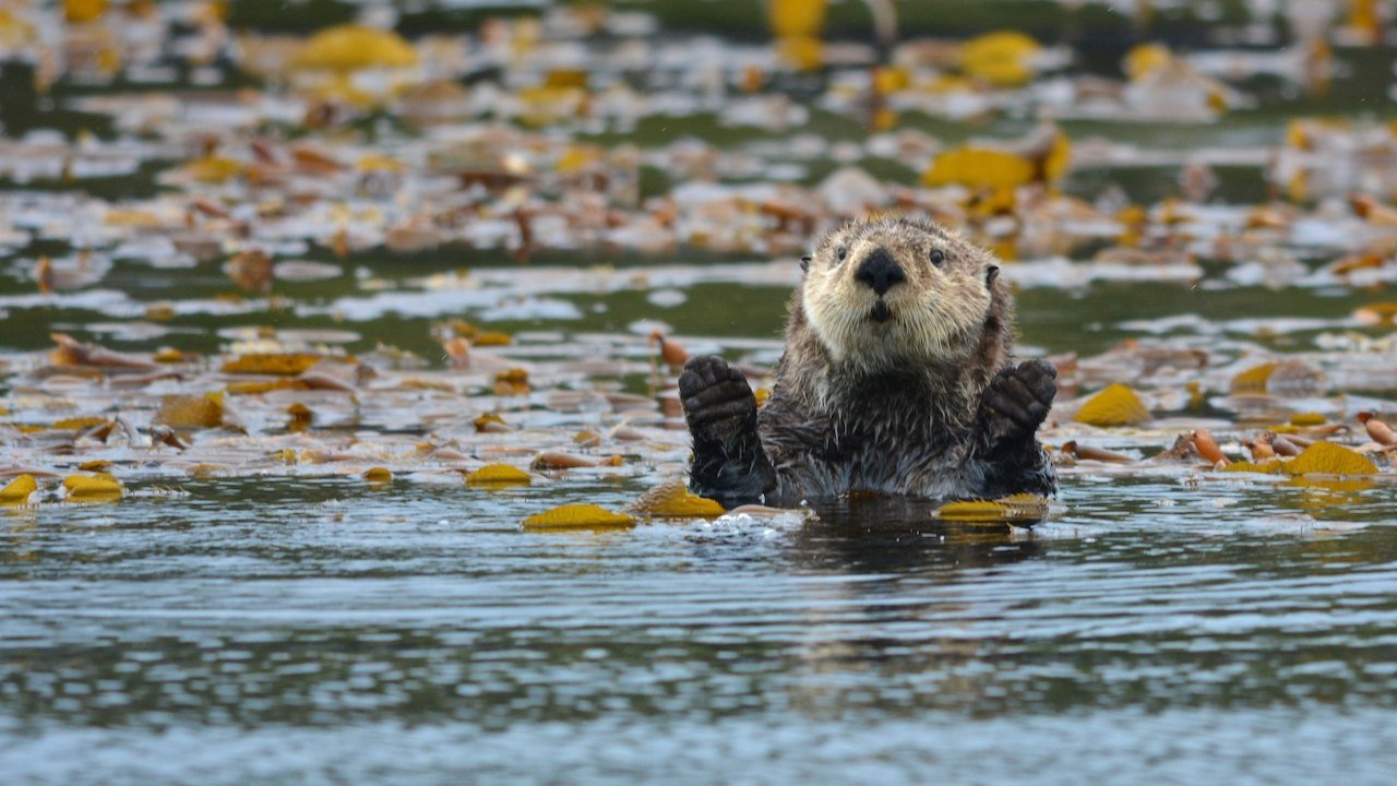 A sea otter claps its paws while floating in a kelp bed.